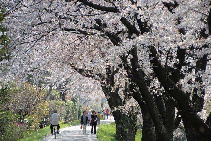 約1.8km続く圧巻の桜並木! のんびり歩いて春を実感!