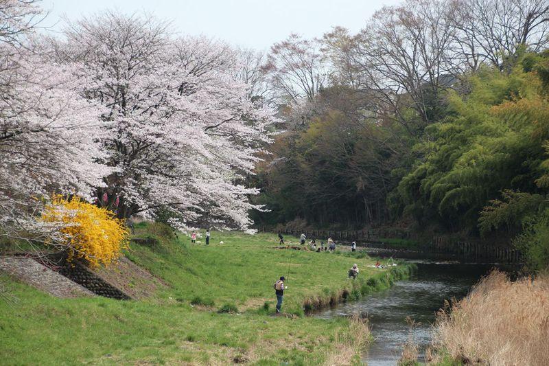 都心より少し遅めに見頃!東京都日の出町「塩田堤の桜並木」