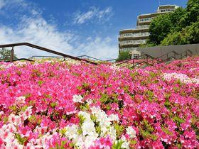 横浜「港北ニュータウン」で絶景!北山田のツツジがすごい!