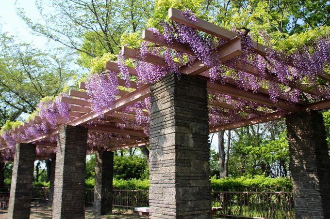 藤は藤沢市の「市の花」、大庭城址公園の藤棚はお勧め