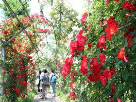 300m超のバラのトンネル!埼玉県川島町「平成の森公園」
