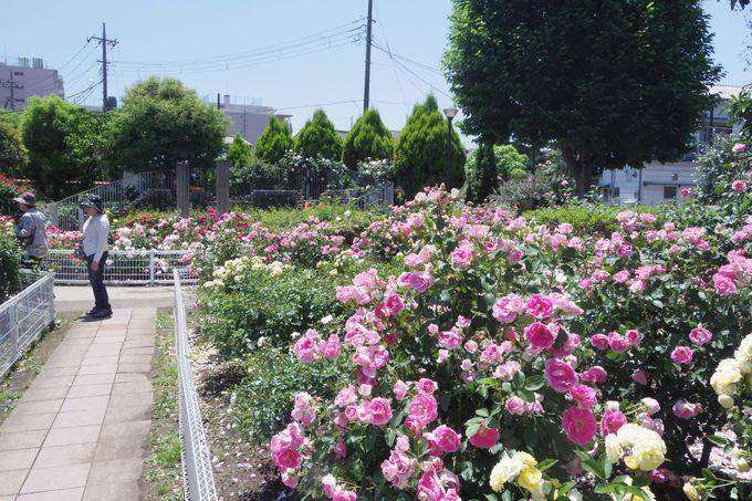 足立区の花名所として名を連ねる「青和ばら公園」