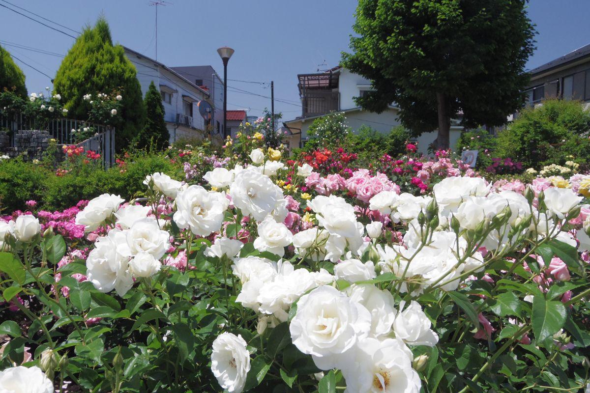 美しく整備された西洋庭園風の園内でバラ観賞