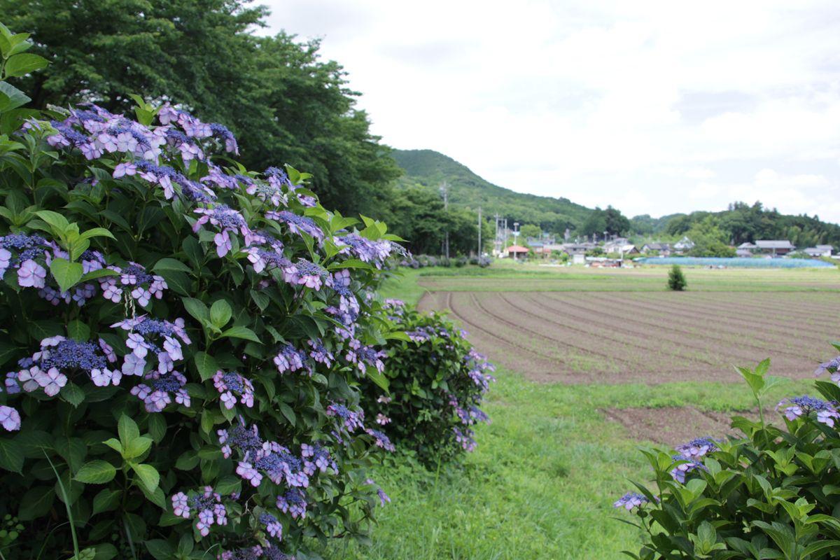 紫陽花の咲く巾着田で、しっとりとした時間を過ごそう