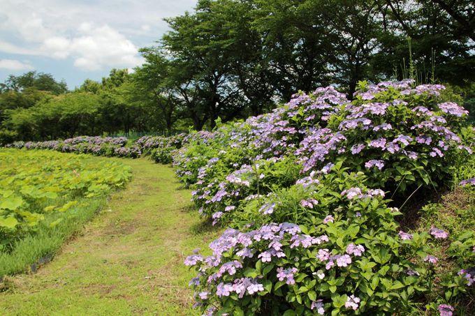 のんびりと堤防道を歩いて紫陽花の咲く景観を堪能しよう