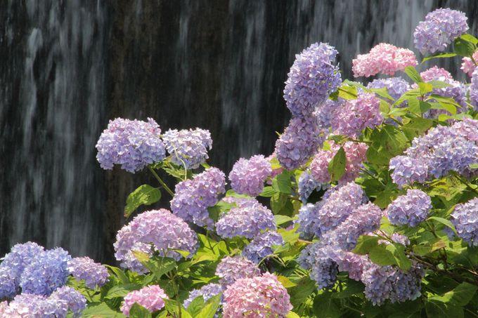 紫陽花が2000本!渓流とのコラボが見せる景観が美しい!