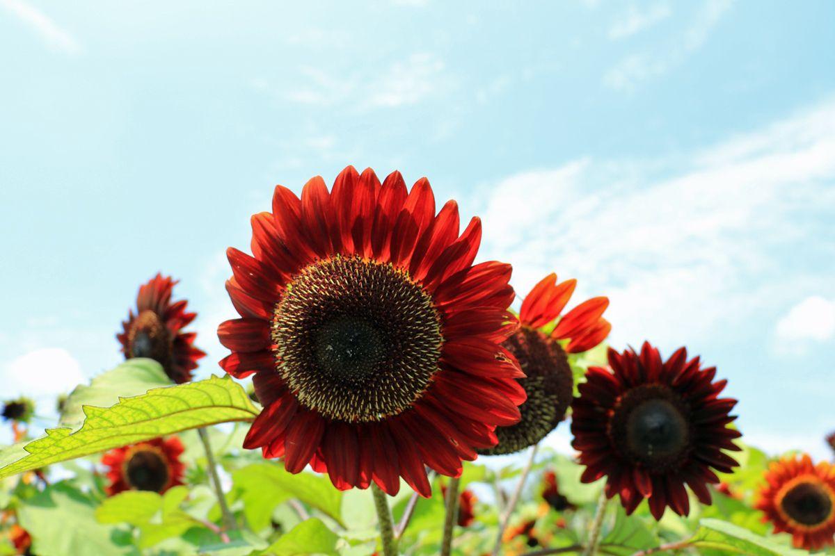 濃い赤色のひまわりも!ひまわり畑の美しさを存分に堪能しよう!