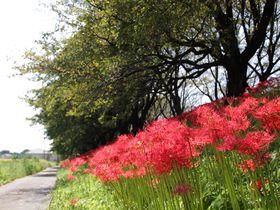 彼岸花もすごいぞ!埼玉県吉見町の桜名所「さくら堤公園」