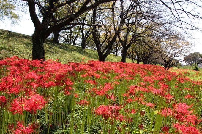春は花見の名所、初秋になれば彼岸花の名所!