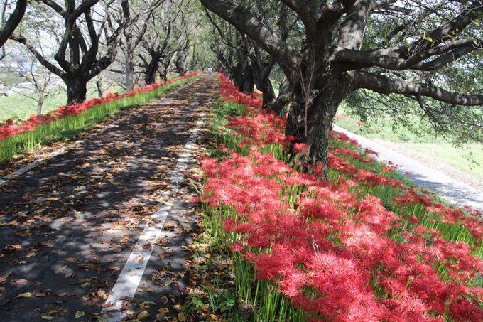 サイクリングロードを歩いて彼岸花の帯を楽しもう!