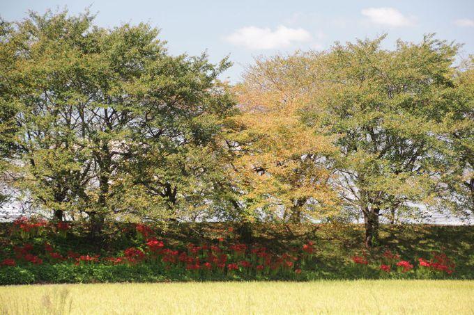 秋晴れの休日、彼岸花の風景を楽しむ田園散歩を「さくら堤公園」で