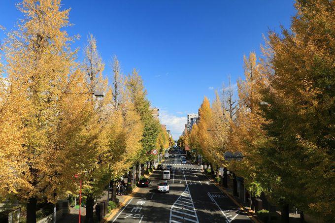 イチョウ並木の景観を上から!歩道橋からの眺めを堪能しよう!
