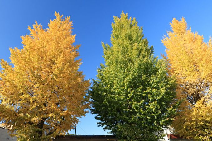 追分交差点から高尾駅まで、のんびり歩いて黄葉の並木を楽しもう