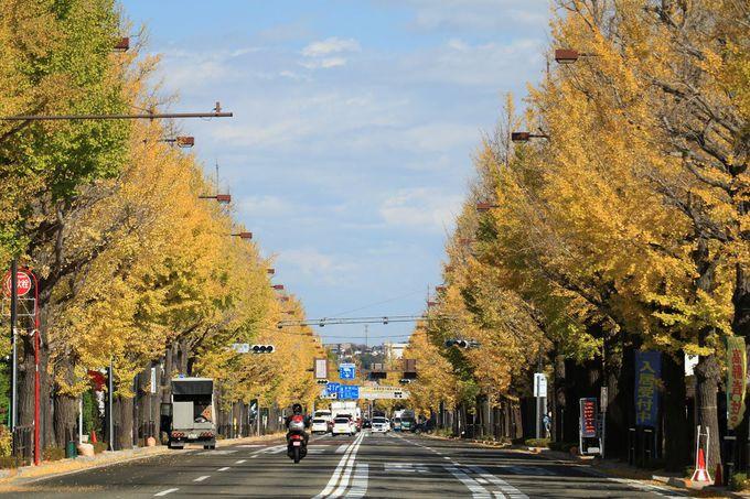 「多摩御陵」造営記念として植えられたイチョウ並木