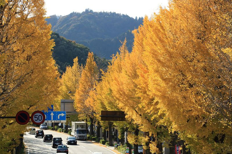 4km続く黄金の道!東京都八王子市「甲州街道イチョウ並木」