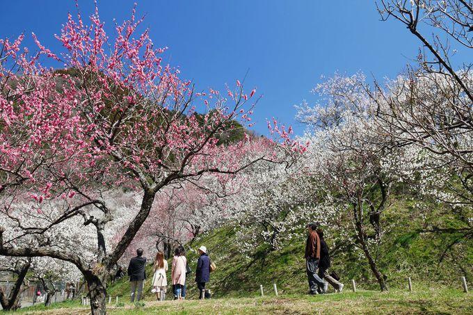 八王子市裏高尾町の「高尾梅郷」は梅の名所!観梅に出かけよう!