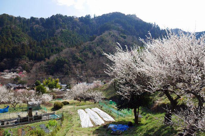 他の梅林を訪ねたり、小仏川沿いを歩いたり、「高尾梅郷」を満喫しよう!