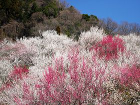 圧巻の木下沢梅林!東京都八王子市「高尾梅郷」で観梅を満喫