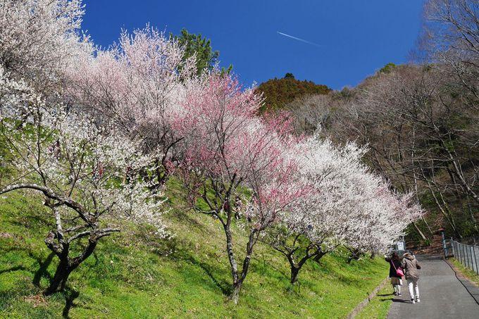 木下沢梅林の見頃は3月中旬、バス利用がお勧め