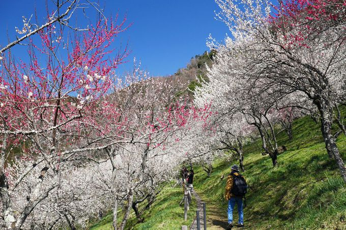 春爛漫!木下沢梅林の見事な景観を堪能しよう!