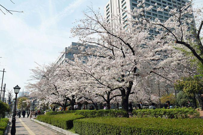 「かもめの広場」や「草地広場」の桜も見逃せない