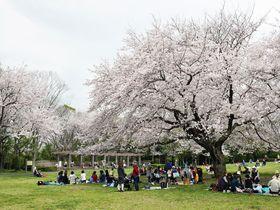 「大庭城址公園」の桜が圧巻!神奈川県藤沢市大庭で花見三昧