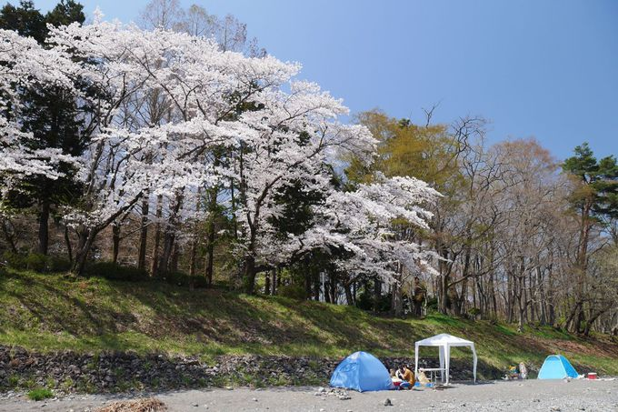 橋の上から、河原から、美しい桜並木を堪能
