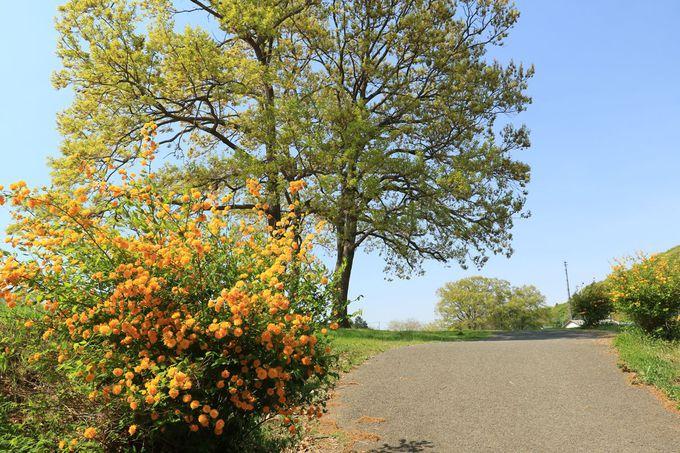 ヤマブキの咲き誇る、新緑の越生町へ出かけよう!