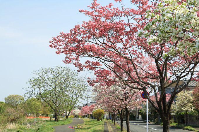 ハナミズキの並木が美しい!越辺川の河岸散歩もお勧め!