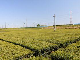 見渡す限り400haに広がる!埼玉県入間市「金子台」の茶畑が壮観