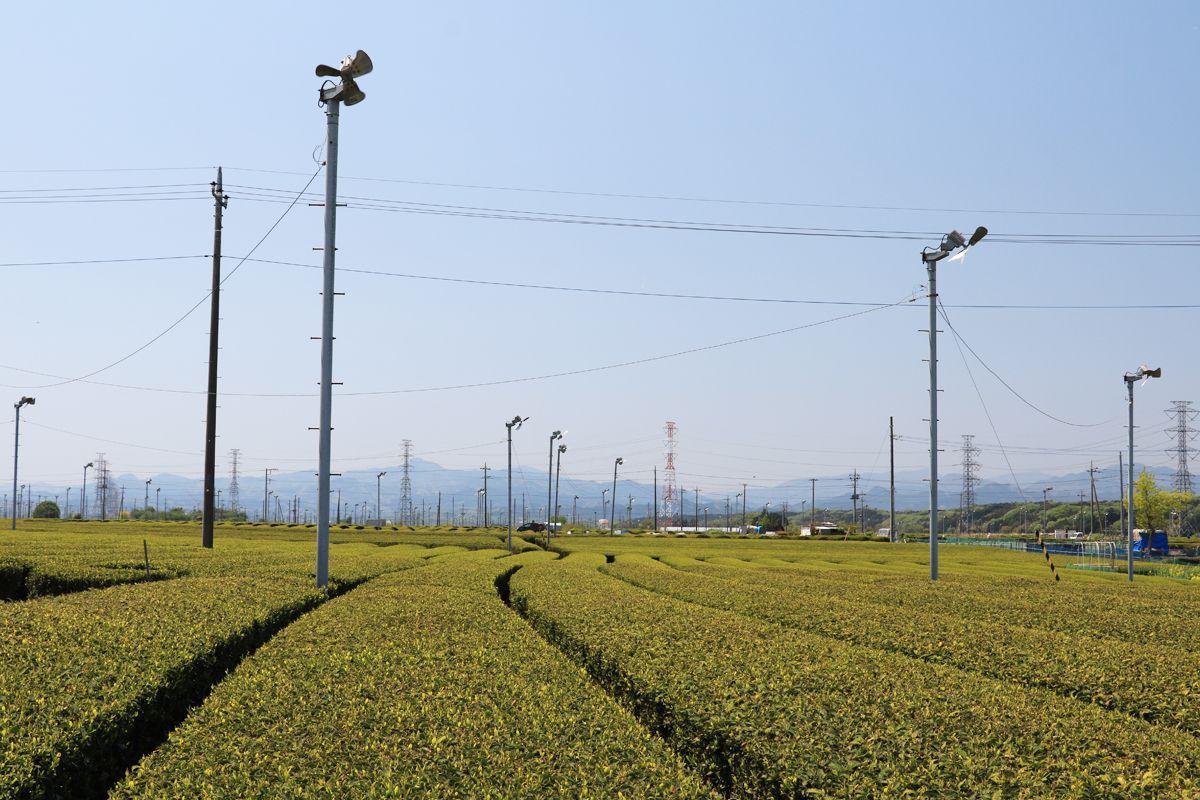 見渡す限りに茶畑が広がる圧巻の風景を見よう!