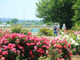 開放感溢れる河岸でバラ!神奈川県「相模川ローズガーデン」