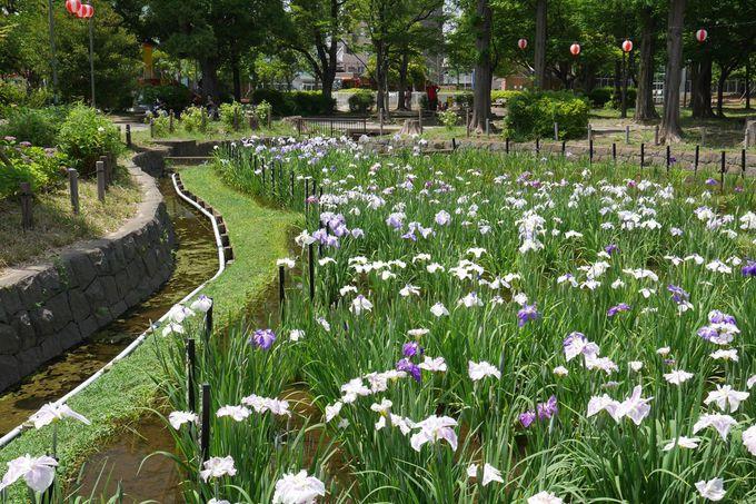 花菖蒲園の風情に富んだ景観を楽しもう!