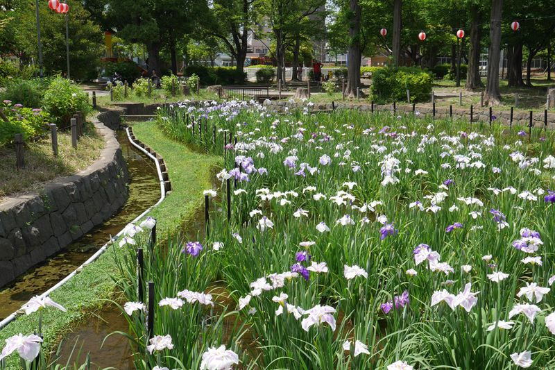8000株超の花菖蒲が風情豊かに!東京都「しょうぶ沼公園」