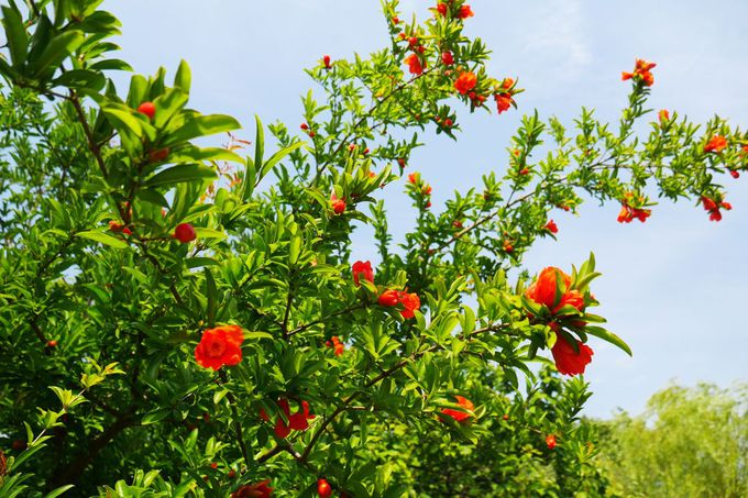 ホタルブクロやザクロの花など、季節の花々を愛でよう