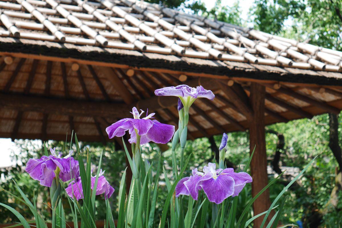 鉢植えや池のほとりに咲く花菖蒲が風情豊か!