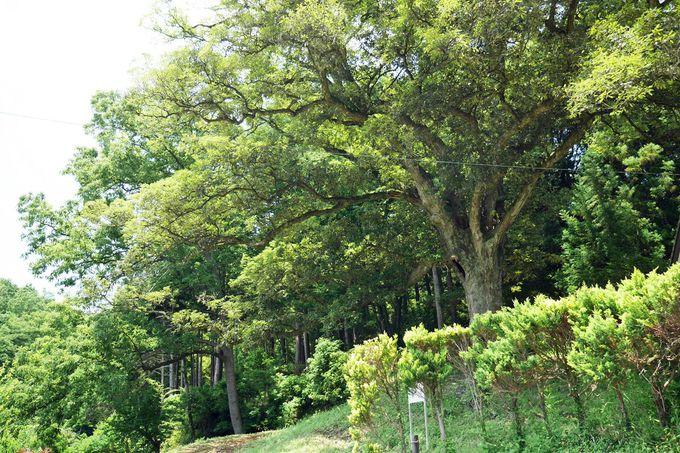 町指定天然記念物のイチイガシの大木も必見