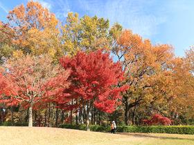 雑木林の黄葉もモミジの紅葉も!晩秋の八王子「都立小宮公園」