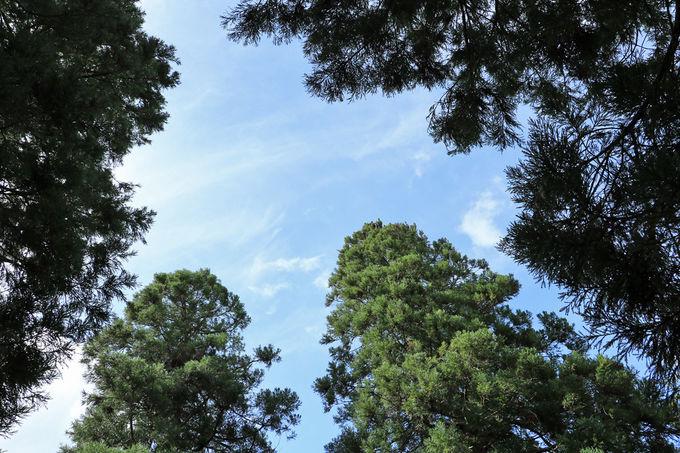 「しあわせ杉」のパワーと旧本丸跡の杉林の癒し
