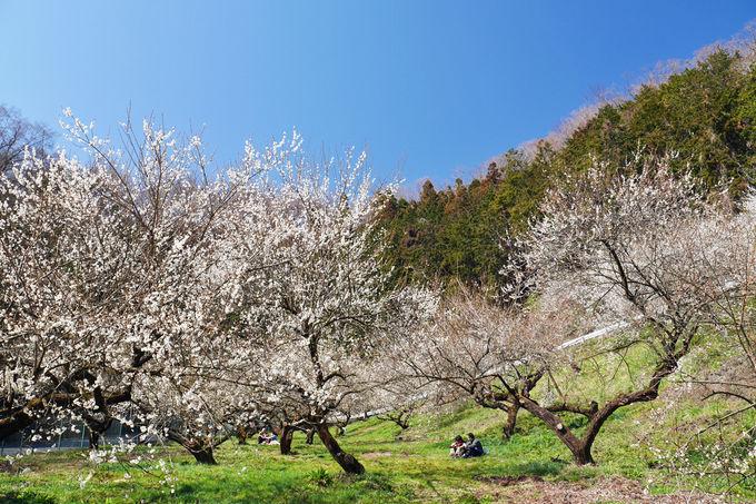 梅林は南側斜面、陽光を浴びる梅林の美しさを堪能しよう