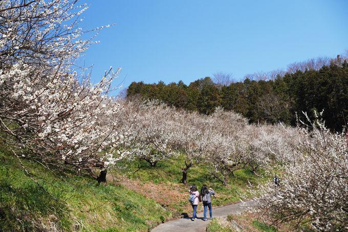 約千本の白梅が斜面を染め上げる景観が圧巻!