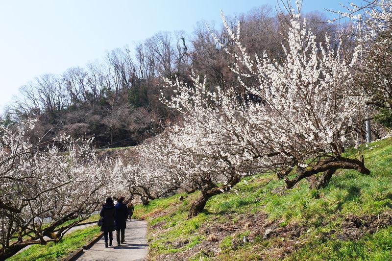 千本の梅が斜面を染め上げる!神奈川県相模原市「本沢梅園」