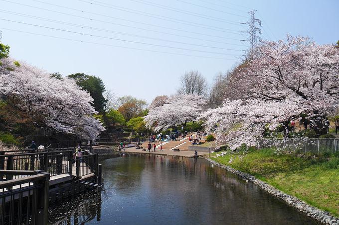 篠原池の岸辺に咲く桜が見逃し厳禁の素晴らしさ