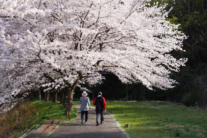 平井川から多摩川へ、春のお花見ウォーキング