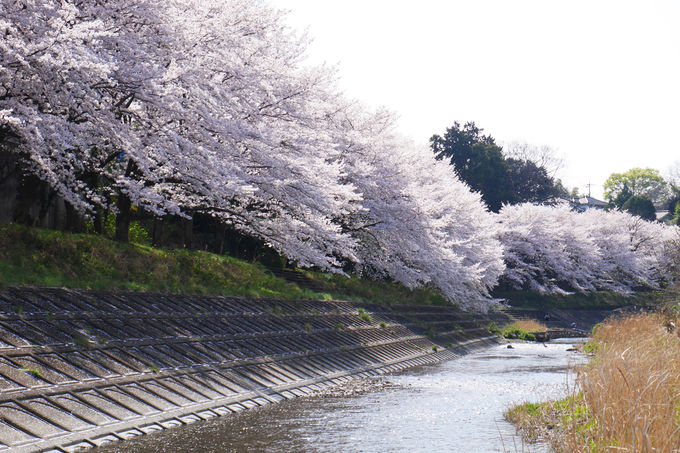 素晴らしい桜並木なのに知られていない、花見の穴場
