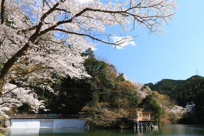 """桜並木の下で湖を見ながら""""お花見ランチ"""""""