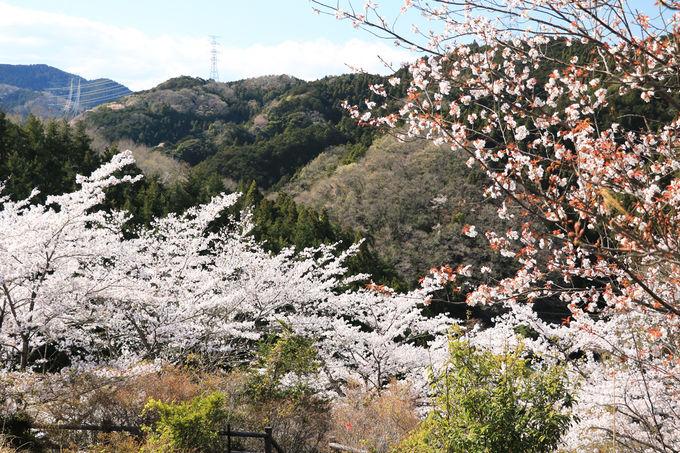 「四季彩の丘公園」の桜も素晴らしい