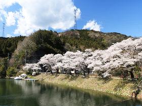 静かな湖と桜並木のコラボが美しい!埼玉「鎌北湖」の春景色