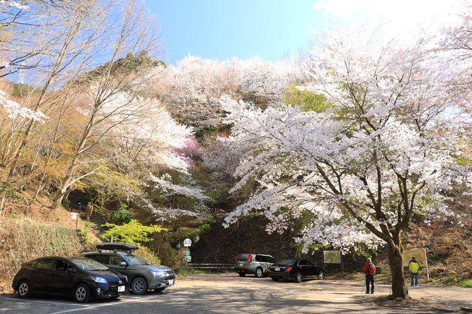 駐車場周辺でも美しい桜が楽しめる