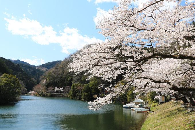 春の鎌北湖へドライブを兼ねたお花見へ